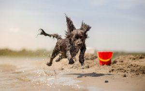 Dog running on beach red bucket