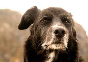 Gray bearded old dog